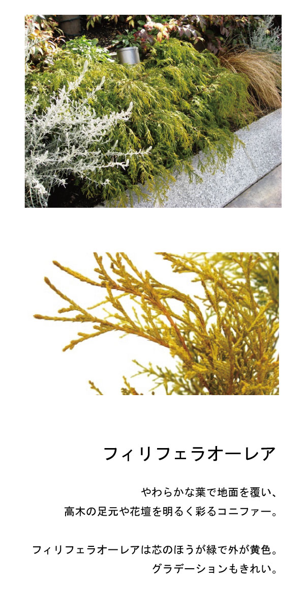 フィリフェラオーレアの画像 p1_3
