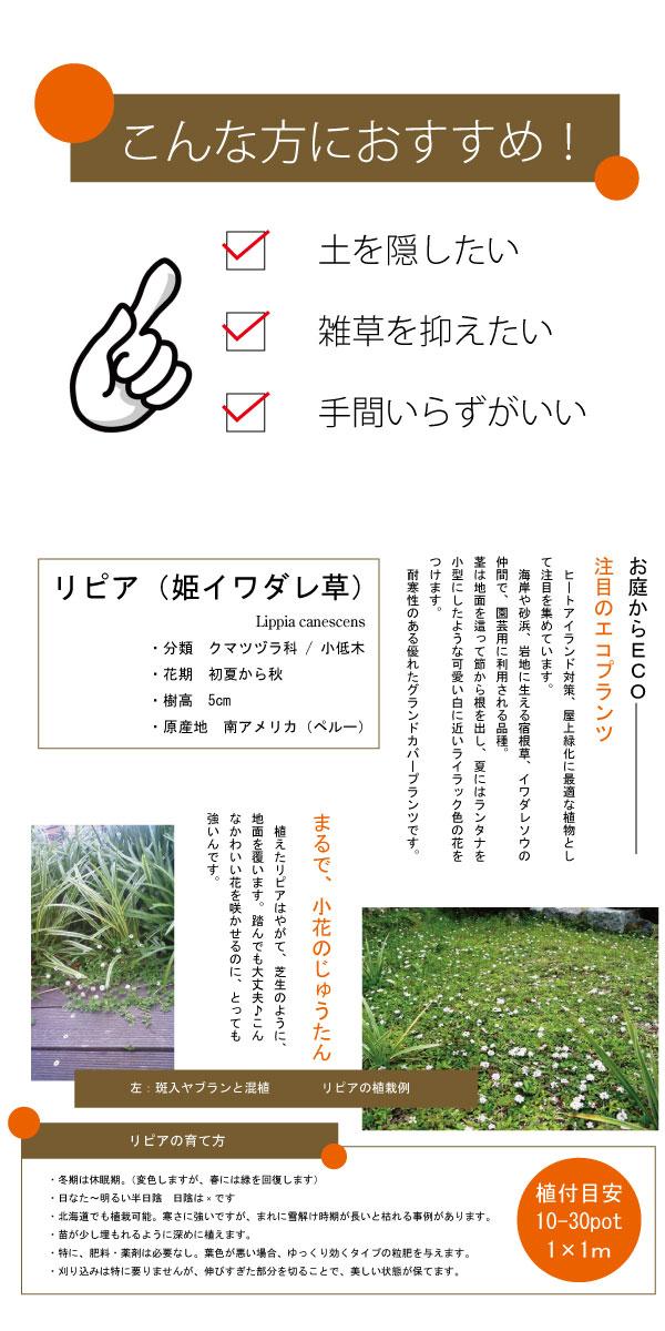 リピア 姫岩垂草 ヒメイワダレソウ 苗