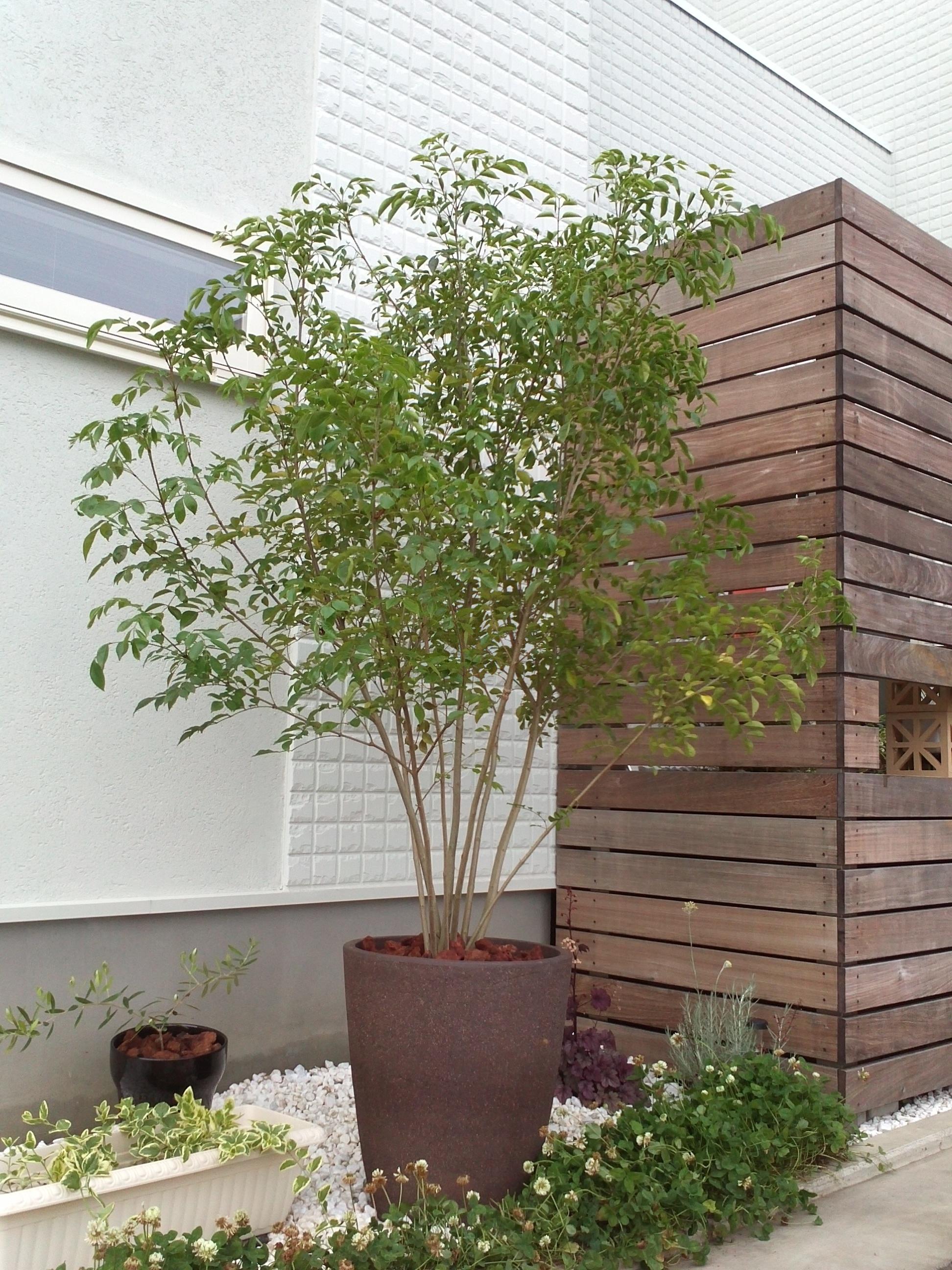 シマトネリコ 植栽例
